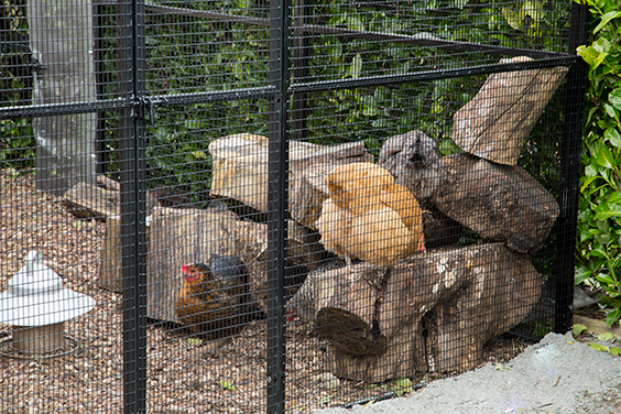 chickens-in-run