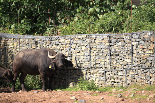 buffalo in front of gabion baskets